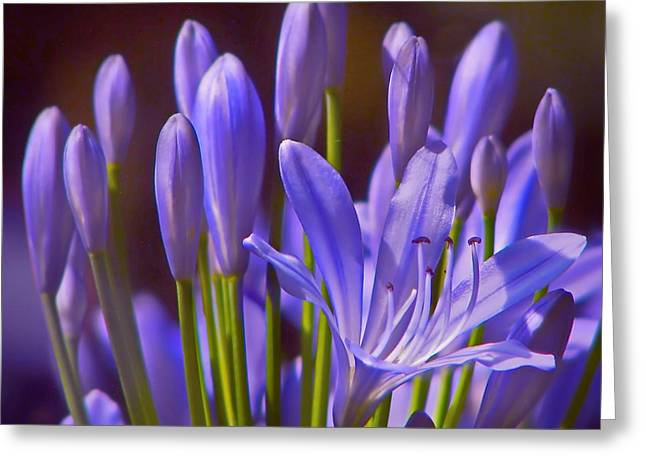 Agapanthus Greeting Cards - Agapanthus - Lily of the Nile - African Lily Greeting Card by Nikolyn McDonald