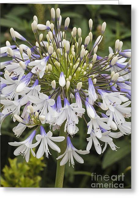 Violet Blue Greeting Cards - Agapanthus queen Mum Greeting Card by Geoff Kidd