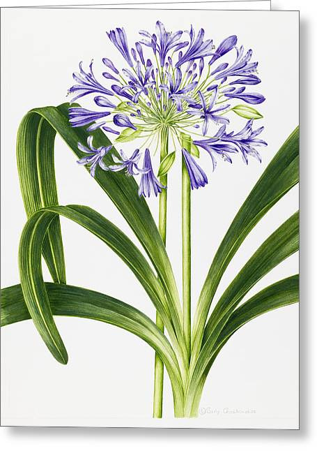 Agapanthus Greeting Cards - Agapanthus Greeting Card by Sally Crosthwaite