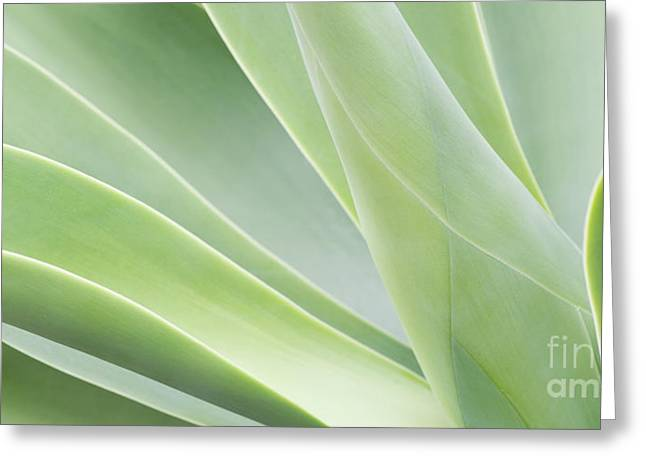 Natural Pattern Greeting Cards - Agave Attenuata Greeting Card by Tim Gainey