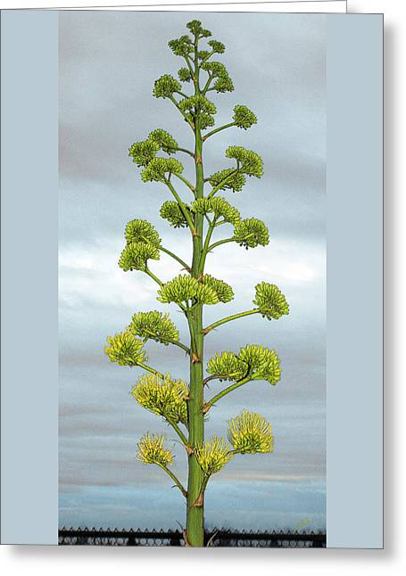 Grey Clouds Greeting Cards - Agave Flower Spike Greeting Card by Ben and Raisa Gertsberg
