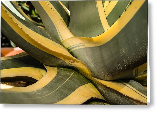 Agava Greeting Cards - Agave Plant Base Greeting Card by Douglas Barnett