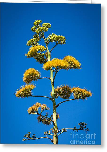 Flowers Miami Greeting Cards - Agave Plant Greeting Card by Juan  Silva