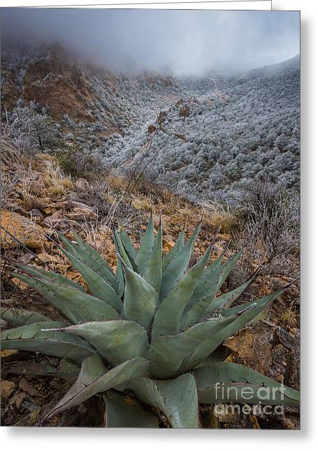 Big Basin Greeting Cards - Agave Winter Greeting Card by Inge Johnsson