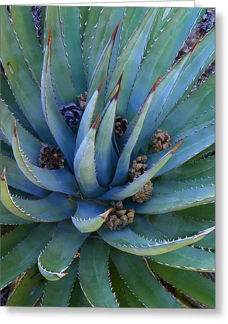 Pine Cones Greeting Cards - Agave With Pine Cones Greeting Card by Tim Fitzharris
