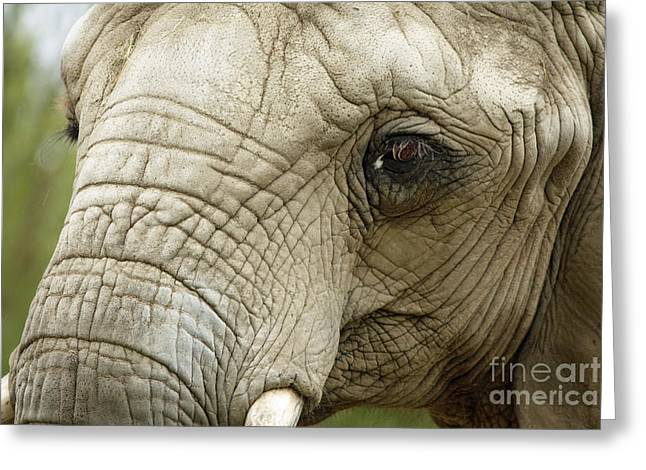 Ageless Greeting Cards - Ageless Beauty of the Animal Kingdom Greeting Card by Inspired Nature Photography By Shelley Myke