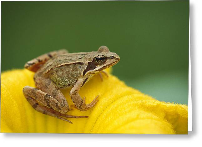 True Color Photograph Greeting Cards - Agile Frog On Flower Bavaria Greeting Card by Konrad Wothe