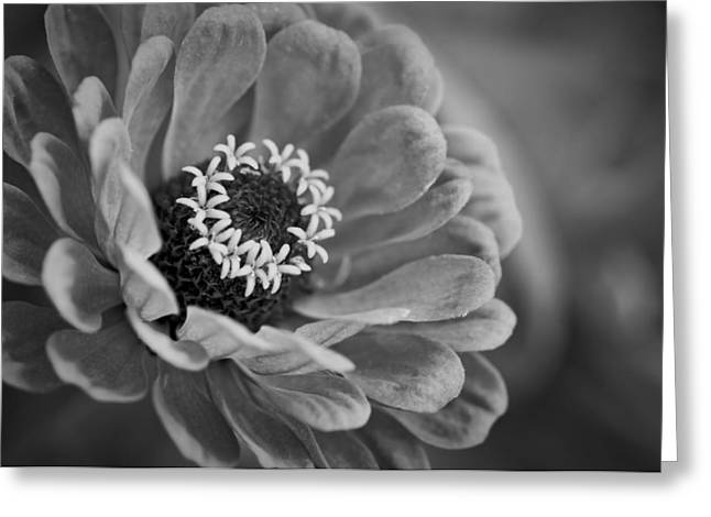 Zinnia Elegans Greeting Cards - Aglow Greeting Card by Chris Fleming