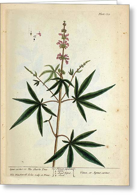 Agnus Castus Plant Greeting Card by National Library Of Medicine