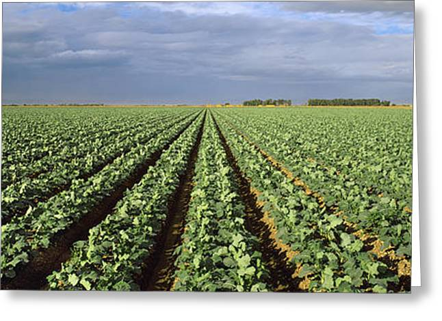 Broccoli Greeting Cards - Agriculture - A Field Of Mid Growth Greeting Card by Timothy Hearsum