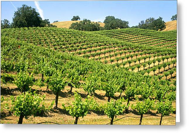 Grape Vineyard Greeting Cards - Agriculture - A Hillside Wine Grape Greeting Card by Timothy Hearsum
