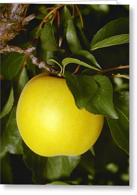 Apricot Greeting Cards - Agriculture - A Single Mature, Nearly Greeting Card by Ed Young