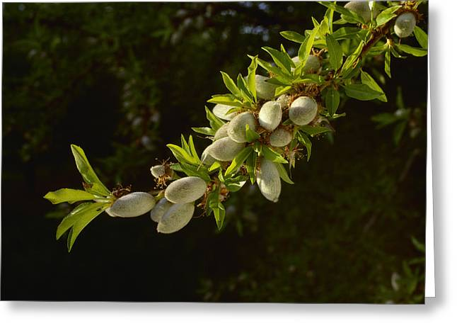 Nut Trees Greeting Cards - Agriculture - An Almond Tree Branch Greeting Card by Ed Young