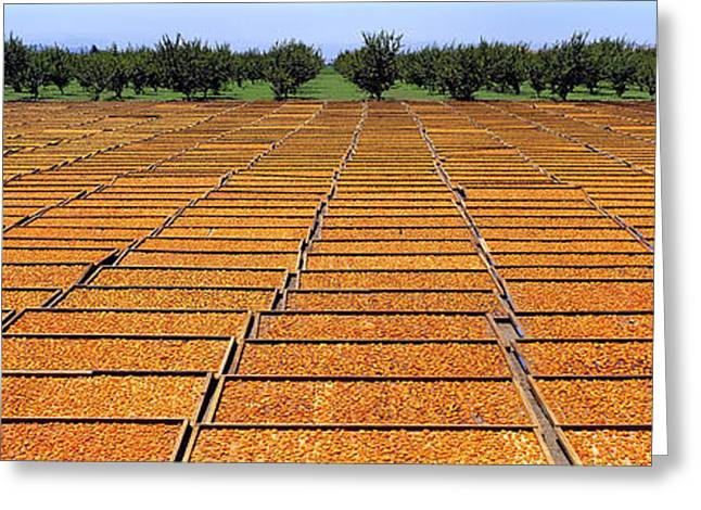 Apricot Greeting Cards - Agriculture - Blenheim Apricots Greeting Card by Randy Vaughn-Dotta
