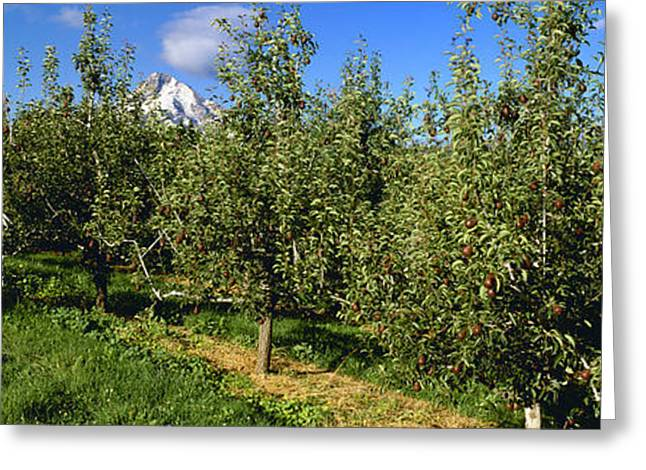 Bosc Greeting Cards - Agriculture - Bosc Pear Orchard Greeting Card by Charles Blakeslee