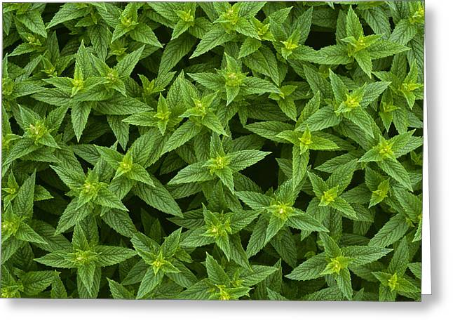 Spearmint Greeting Cards - Agriculture - Closeup Detail Greeting Card by Gary Holscher