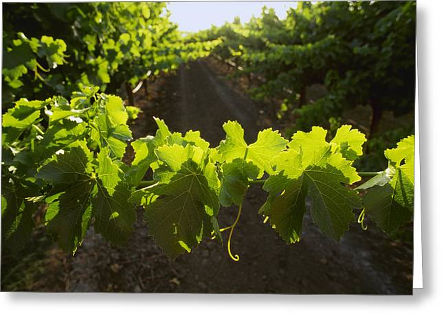 Grape Vineyard Greeting Cards - Agriculture - Closeup Of Table Greeting Card by Ed Young