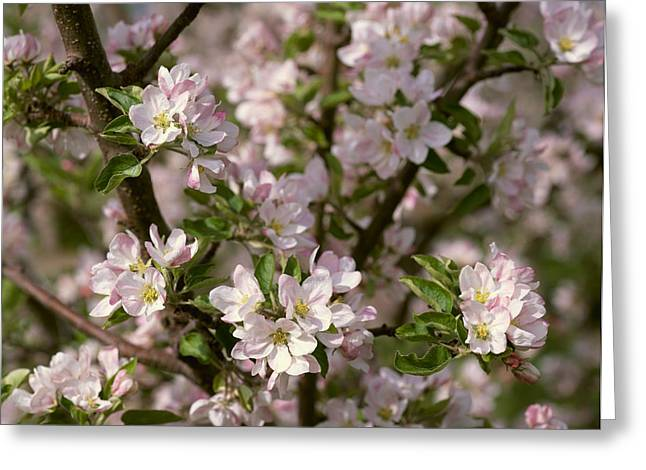 Foliage Fragrance Greeting Cards - Agriculture - Closeup View Of Apple Greeting Card by Gary Holscher