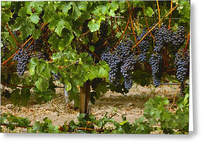 Grape Vineyard Greeting Cards - Agriculture - Clusters Of Ripe Merlot Greeting Card by Timothy Hearsum