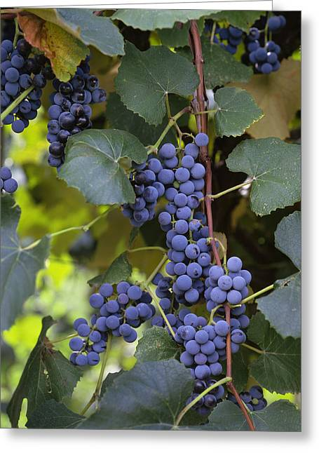 Concord Grapes Greeting Cards - Agriculture - Concord Tablejuice Grapes Greeting Card by Gary Holscher