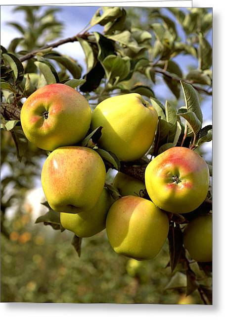 Ripening Fruit Greeting Cards - Agriculture - Criterion Apples Greeting Card by Gary Holscher