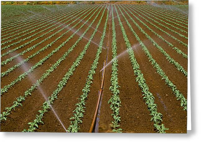 Broccoli Greeting Cards - Agriculture - Early Growth Broccoli Greeting Card by Timothy Hearsum