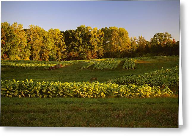 Farm Stand Greeting Cards - Agriculture - Field Of Maturing Flue Greeting Card by R. Hamilton Smith