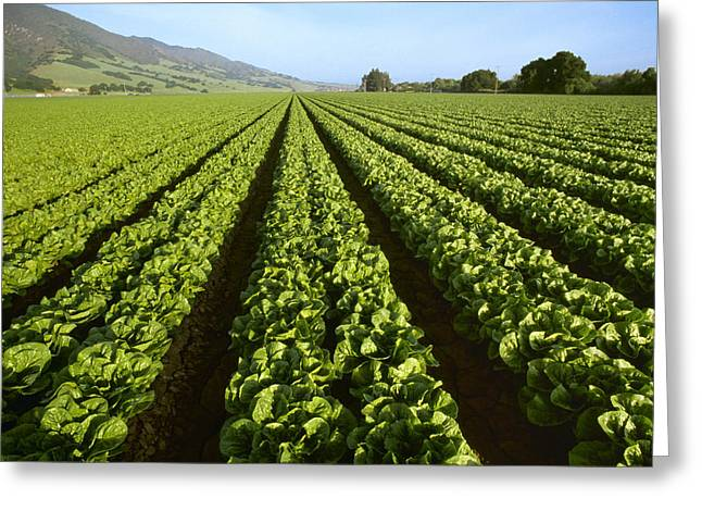 Santa Lucia Mountains Greeting Cards - Agriculture - Field Of Mid Growth Greeting Card by Ed Young