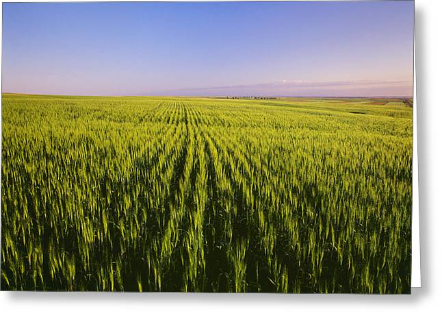 Maturity Greeting Cards - Agriculture - Fields Of Maturing Green Greeting Card by Chuck Haney