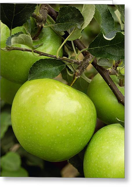 Ripening Fruit Greeting Cards - Agriculture - Granny Smith Apple Greeting Card by John Marshall