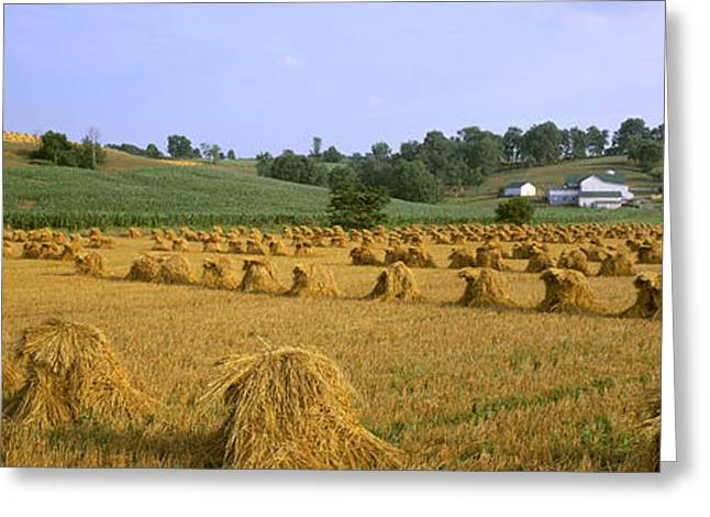 Amish Farms Greeting Cards - Agriculture - Harvested Oats In Shocks Greeting Card by Timothy Hearsum