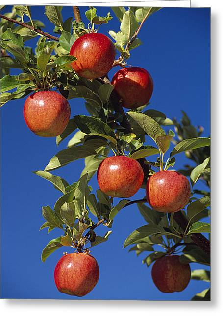 Maturity Greeting Cards - Agriculture - Imperial Apples Greeting Card by Gary Holscher