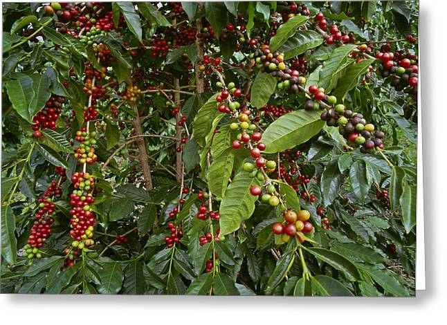 Green Beans Greeting Cards - Agriculture - Kona Coffee Beans Greeting Card by G. Brad Lewis