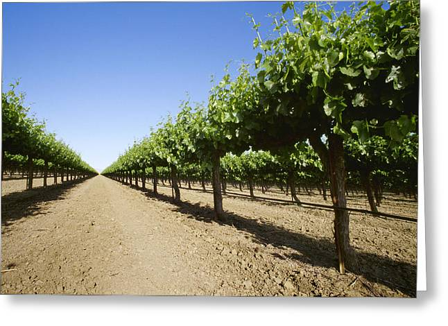 Grape Vineyards Greeting Cards - Agriculture - Low Angle View Looking Greeting Card by Ed Young