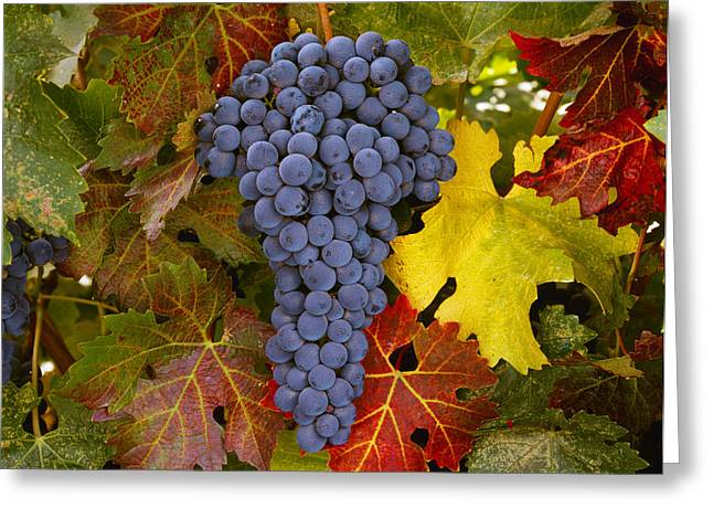 Grapevine Leaf Greeting Cards - Agriculture - Mature Cabernet Sauvignon Greeting Card by Ed Young