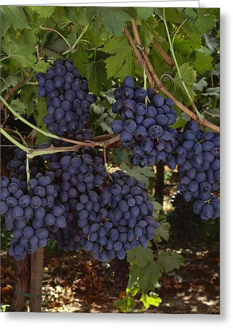 Fruit On The Vine Greeting Cards - Agriculture - Mature, Harvest Ready Greeting Card by Ed Young
