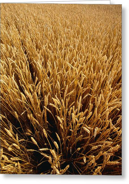Agriculture - Mature Wheat, Ready Greeting Card by Chuck Haney