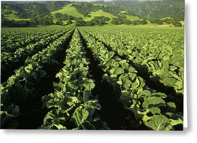 Santa Lucia Mountains Greeting Cards - Agriculture - Mid Growth Cauliflower Greeting Card by Ed Young