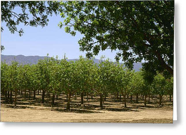 Farm Stand Greeting Cards - Agriculture - Pistachio Orchard Early Greeting Card by Timothy Hearsum