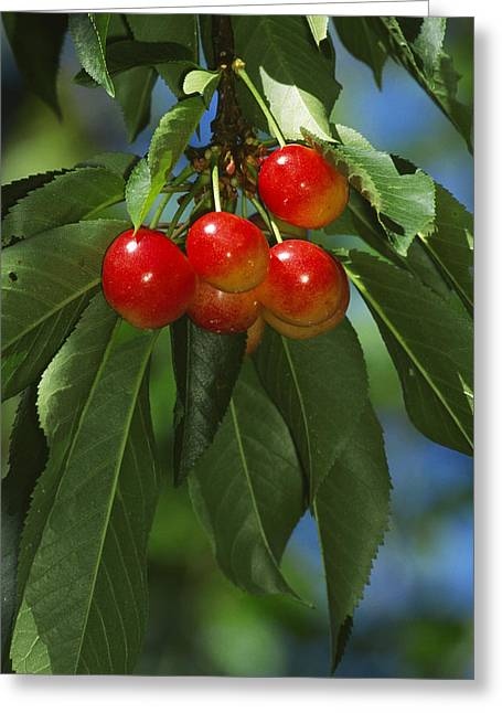 Ripening Fruit Greeting Cards - Agriculture - Rainier Cherries Greeting Card by Jack Clark