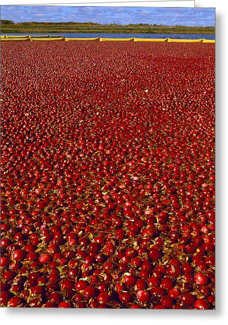 Wolfgang Greeting Cards - Agriculture - Ripe Cranberries Ready Greeting Card by Wolfgang Hoffmann