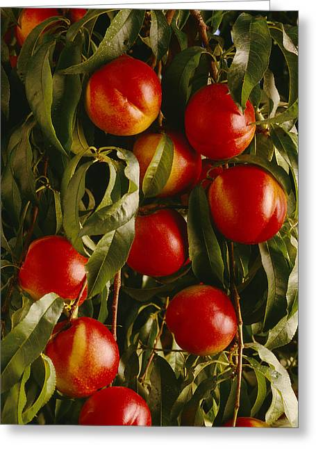 Ready For Harvest Greeting Cards - Agriculture - Ripe Nectarines Greeting Card by Ed Young