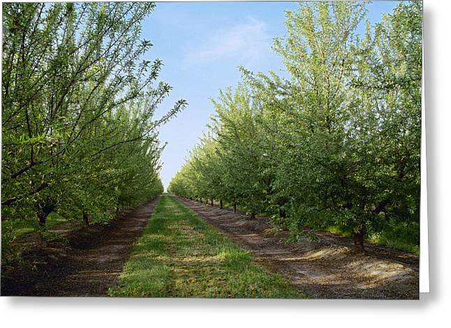 Nut Trees Greeting Cards - Agriculture - Rows Of Almond Trees Greeting Card by Ed Young