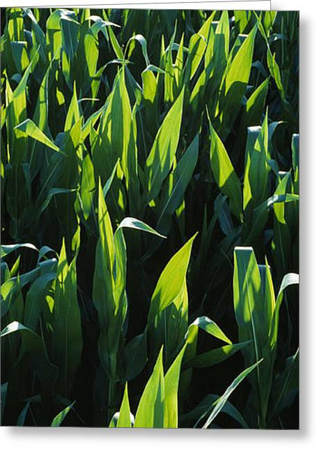 Sweet Corn Greeting Cards - Agriculture - Rows Of Backlit Mid Greeting Card by Randy Vaughn-Dotta