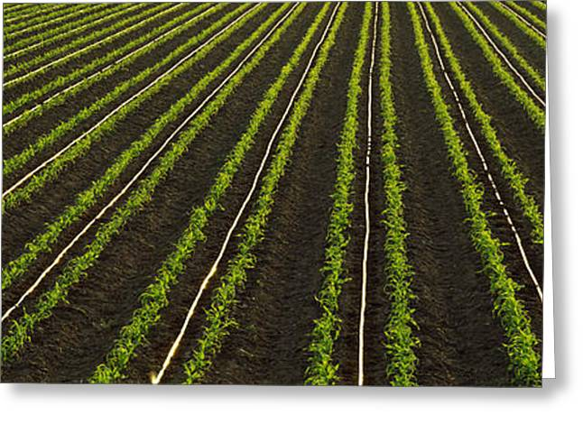 Randy Greeting Cards - Agriculture - Rows Of Early Growth Greeting Card by Randy Vaughn-Dotta