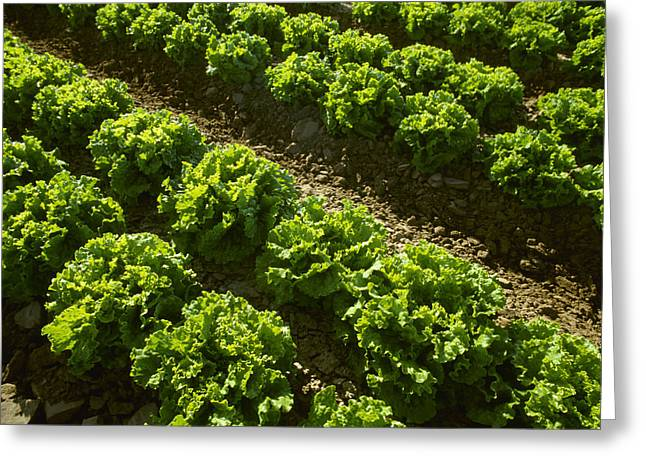 Lettuce Green Greeting Cards - Agriculture - Rows Of Mid Growth Green Greeting Card by Ed Young