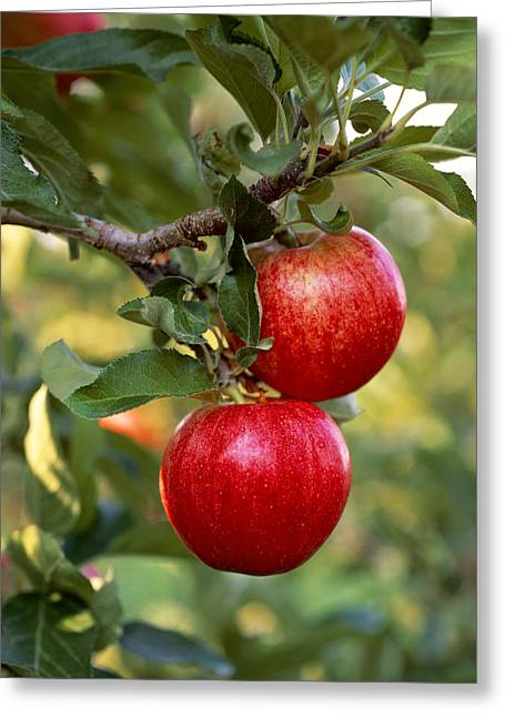 Royal Gala Greeting Cards - Agriculture - Royal Gala Apples Greeting Card by Gary Holscher