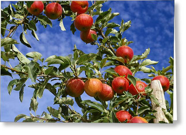 Royal Gala Greeting Cards - Agriculture - Royal Gala Apples On Tree Greeting Card by Ed Young