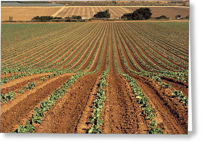 Broccoli Greeting Cards - Agriculture - Sloping Field Of Early Greeting Card by Timothy Hearsum
