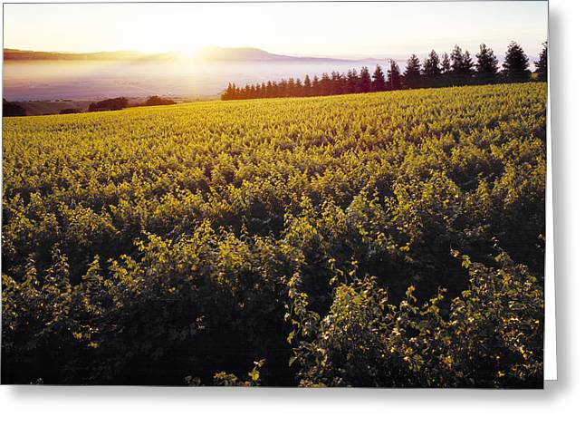 Santa Lucia Mountains Greeting Cards - Agriculture - Sloping Wine Grape Greeting Card by Ed Young